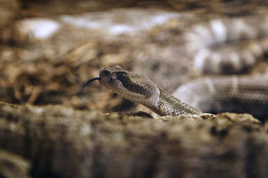 A rattlesnake at the Lindsay Wildlife Museum in Walnut Creek, California on June 7, 2013. Photo: Katie Meek, The Chronicle