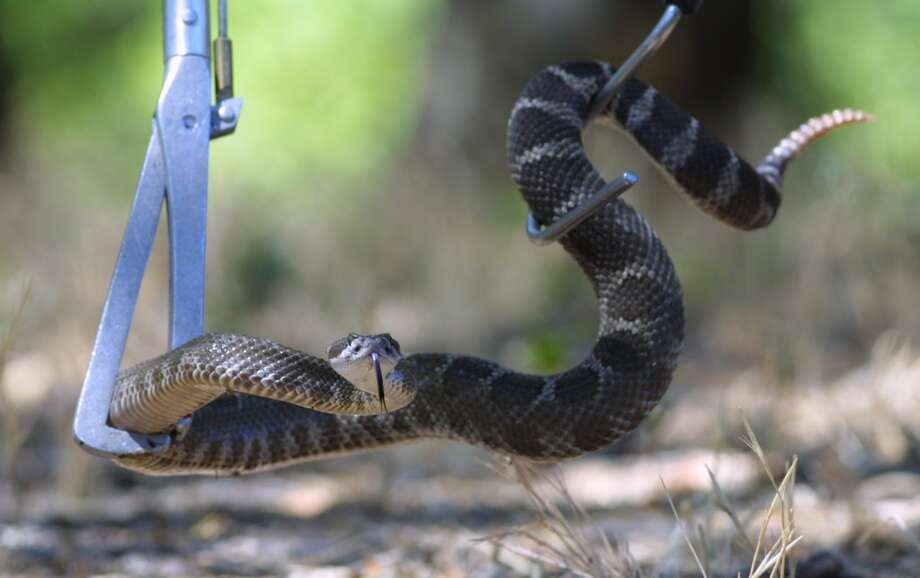 A Northern Pacific Rattlesnake in the Sunol Regional Park. Photo: MICHAEL MACOR, SFC