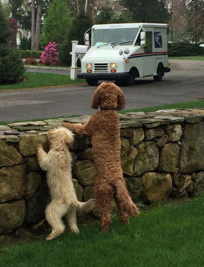 MAILMAN'S BEST FRIEND With the U.S. Postal Service truck in sight, a pair of friendly Labradoodles on Sprucewood Drive last Friday eagerly awaited the arrival of the neighborhood letter carrier, who usually has treats for them. Ellie, left, a six-month-old mini Labroadoodle, and her pal Mickey, a 3 1/2 -year-old medium Labrodoodle, are equally delighted to see the UPS delivery man, according to Joan Korenchuck, who works on the street. Labradoodles are crossbred by crossing a  Labrador retriever with a standard, medium or miniature poodle, and they are characteristically friendly and outgoing. Photo: Westport News/Contributed Photo / Westport News