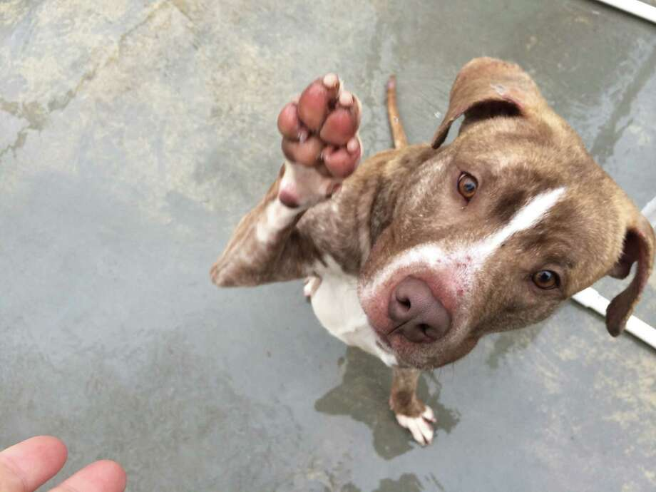 "Raise a paw if you think this week's ""Dog of the Week"" is absolutely adorable!! Leo is a 1-year-old pit bull mix who had a tough life before arriving at Adopt-A-Dog. Leo was found on the side of a parkway by a Good Samaritan. Weighing only 40 pounds, he was in need of some TLC. We are happy to announce that Leo is at a healthy weight, neutered and now available for adoption!!! This sweet boy loves to do agility and loves playing in the yard and going on walks. For more info,visit www.adoptadog.org or call 203-629-9494. Photo: Contributed Photo / Greenwich Time Contributed"