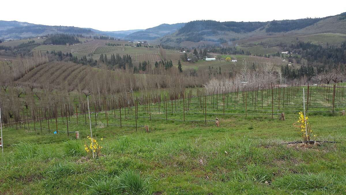Young vines at Analemma Wines in Mosier, Ore., where Steven Thompson has planted Grenache, along with less known grapes like Spain's Mencia. Mosier is located in the Columbia Gorge, a new winegrowing area that straddles both Oregon and Washington.