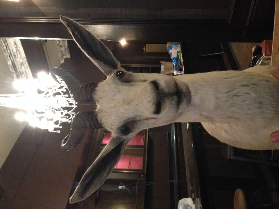 A springbok is the mascot for Springbok, a new rugby bar opening in downtown Houston. (Photo: Greg Morago)