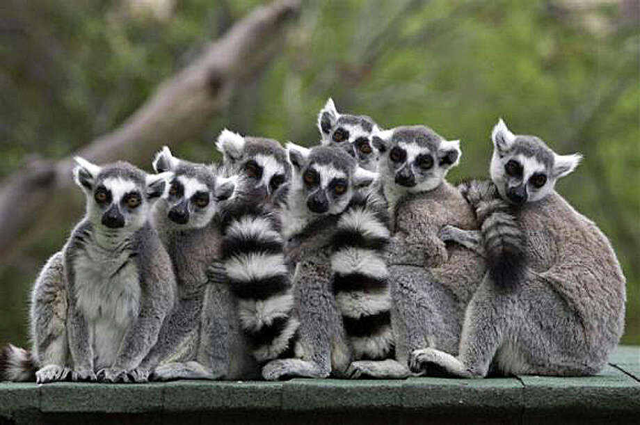"Lemurs on the island of Madagascar are the ""stars"" of the new nature documentary at the IMAX Theater at the Maritime Aquarium at Norwalk. Find out more.  Photo: Contributed Photo / Westport News"