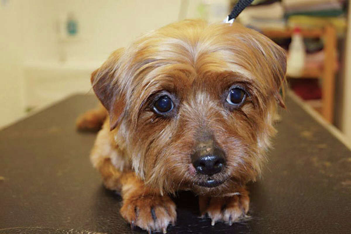 Lucy, a little brown-and-black Yorkie with a human-like gaze, was rescued from an Ohio puppy mill. (Photo courtesy Companion Animal Placement Program)