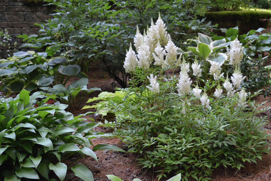 These white fluffy flowers are Astilbe Snowdrift. To the left is a hosta called a Tardiflora. Photo: Emily Jahn / Emily Jahn/518Life magazine