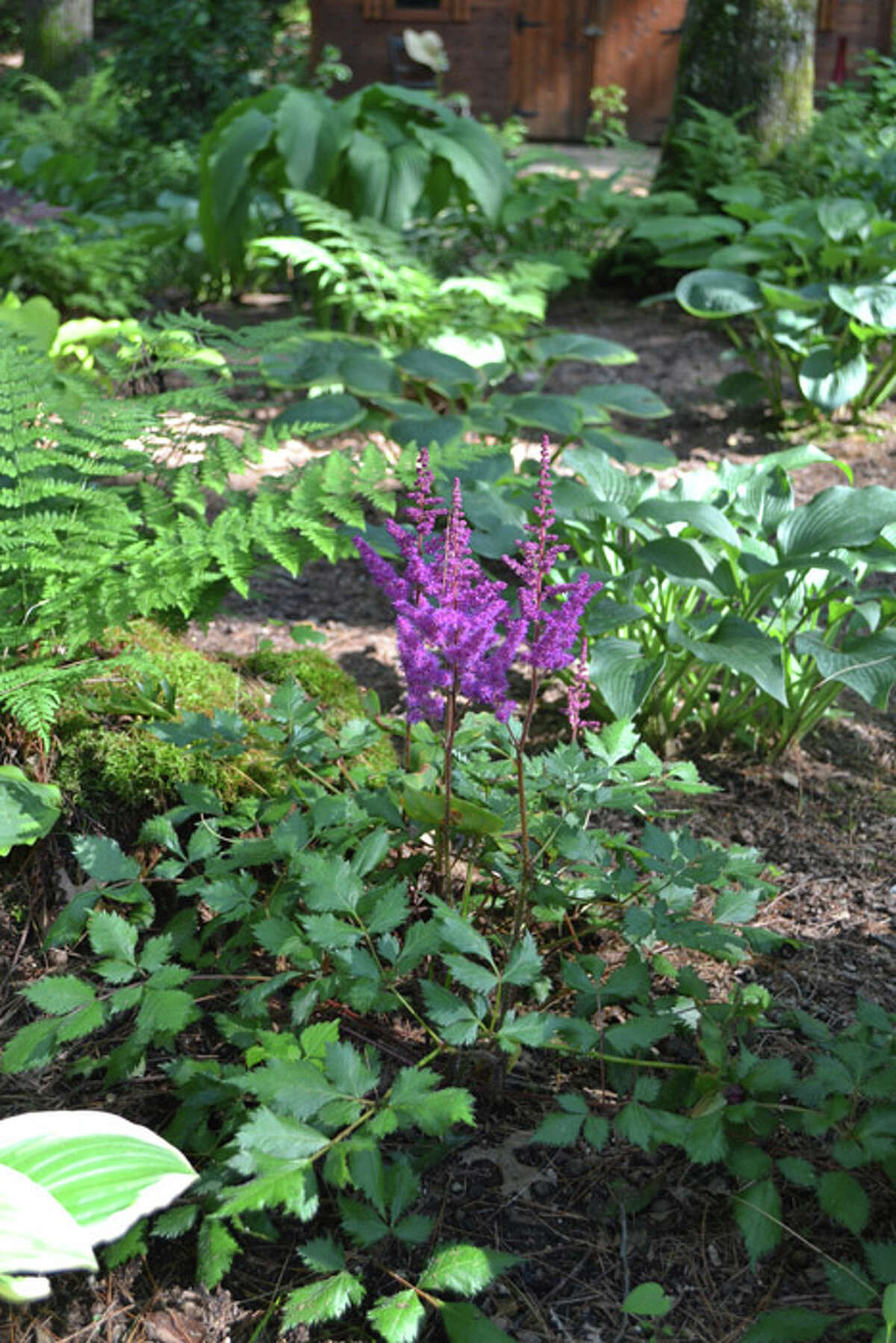 Meg and Jim Dalton started their garden, which specializes in gorgeous, bountiful hostas, in the spring of 2000.