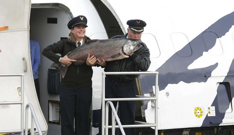Alaska Air really knows how to treat its first-class passengers: Alaska Airlines Capt. David Boshell kisses a 48-lb. Copper River King Salmon that he and first officer Melissa Van Dyke flew from Cordova, Alaska, to Seatac, Wash. The cargo flight carried the first shipment of the year of Copper River salmon, which are highly prized for their oil content and flavor. Photo: Ted S. Warren, Associated Press