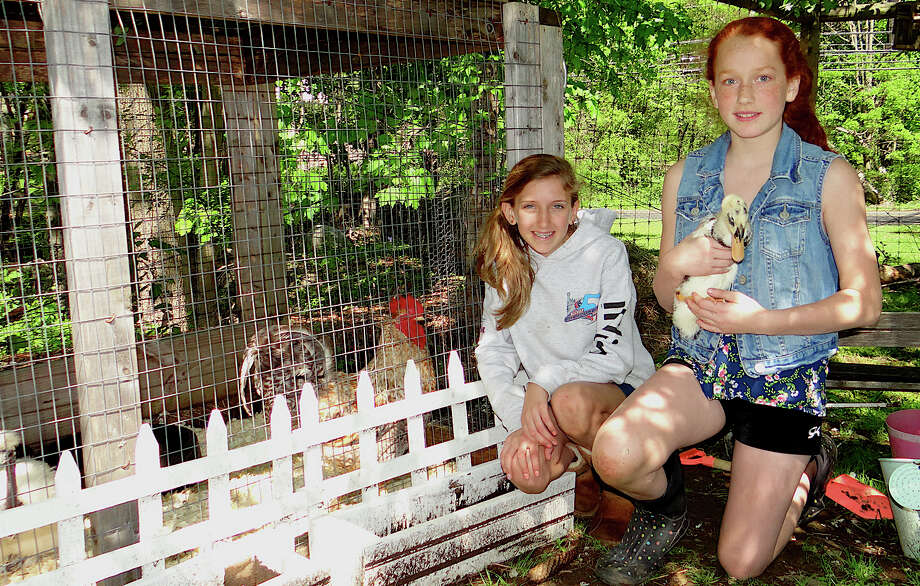 Connie Kleiner and Maia Fuchs, both 11, hold Indian Runner ducks as chickens look on Saturday at Wakeman Town Farm during its annual coop tour. Photo: Mike Lauterborn / Westport News