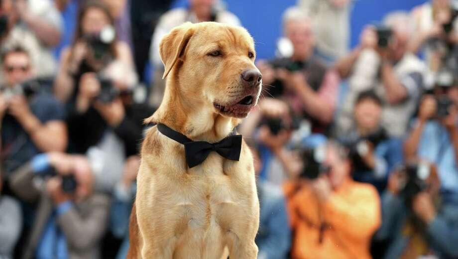 A dog sits during a photo call for White God (Feher Isten) at the 67th international film festival, Cannes, southern France, Saturday, May 17, 2014. Photo: Alastair Grant, AP / AP2014