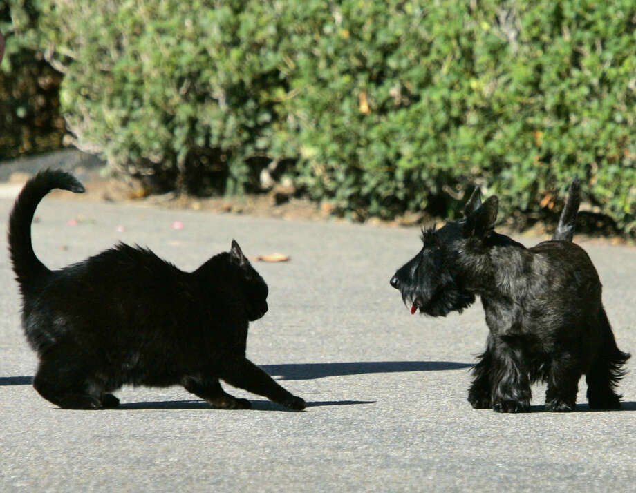 Bush pets India and Miss Beazley square off during their White House days. Miss Beazley has died. Photo: J. Scott Applewhite, STF / AP
