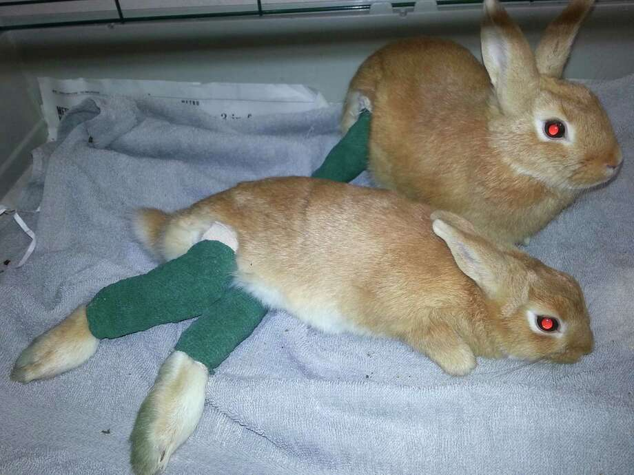 This photograph, provided by the Louisiana SPCA on May 15, 2014, show two young rabbits brought to Metairie veterinarian Gregory Rich on May 13, 2014, by a woman who saw them thrown from a car in suburban Metairie. Rich splinted their broken legs. The SPCA is offering a $1,000 reward for information leading to arrest and conviction of whoever threw the rabbits. Photo: Gregory Rich, AP  / AP2014