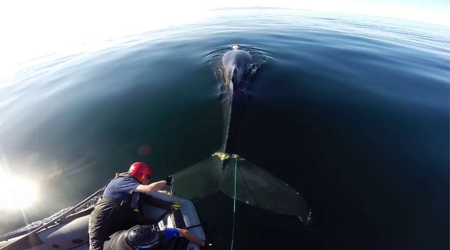 In this Thursday, May 15, 2014 photo provided by KSBW-TV, marine biologists free a humpback whale that had become entangled with a steel rope attached to a 300-pound crab trap, off the coast of Santa Barbara, Calif. The heavy crab pot was preventing the whale from diving to feed. Photo: Uncredited, AP  / AP2014