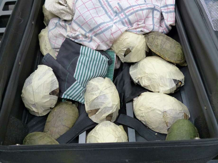In this undated picture provided by the Zollfahndungsamt Frankfurt/Main, Germany, Friday, May 16, 2014, turtles are pictured that were seized by the German customs. German authorities say they've arrested a 44-year-old Mexican man after finding his suitcase full of snakes, turtles and lizards, including endangered species. German customs' spokesman Hans-Juergen Schmidt said the man, whose name was not released in accordance with privacy laws, was traveling from Mexico City to Barcelona. Photo: AP  / Zollfahndungsamt Frankfurt/Main