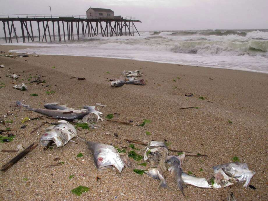 Dead fish litter the beach in Belmar N.J. on Friday, May 16, 2014, shortly before volunteers launched a cleanup effort there. The fish died Monday due to what state environmental officials believe were depleted oxygen levels in the Shark River. Photo: Wayne Parry, AP  / AP