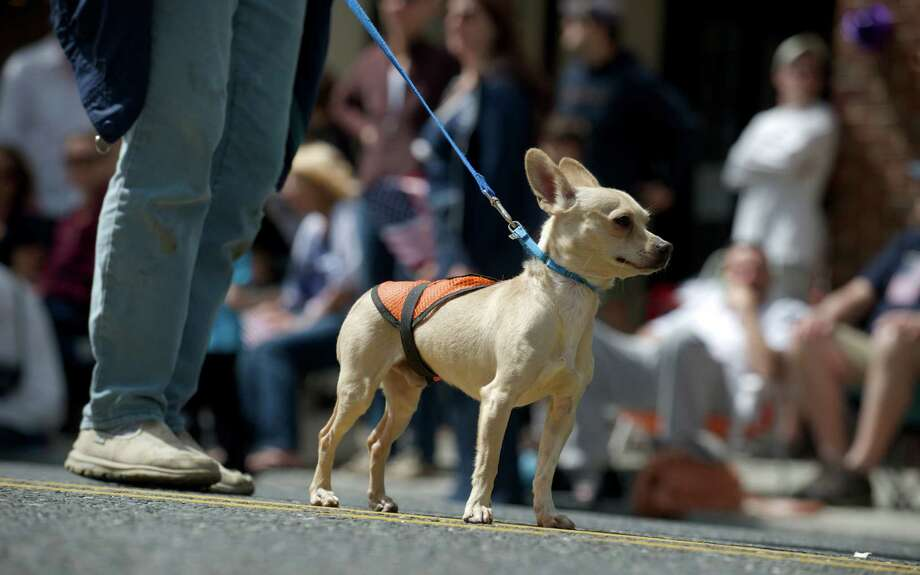 A dog from DAWS, theDanbury Animal Welfare Society, pauses during the Annual Memorial Day Parade in Bethel, Conn, on Sunday, May 18, 2014. Photo: H John Voorhees III / The News-Times Freelance