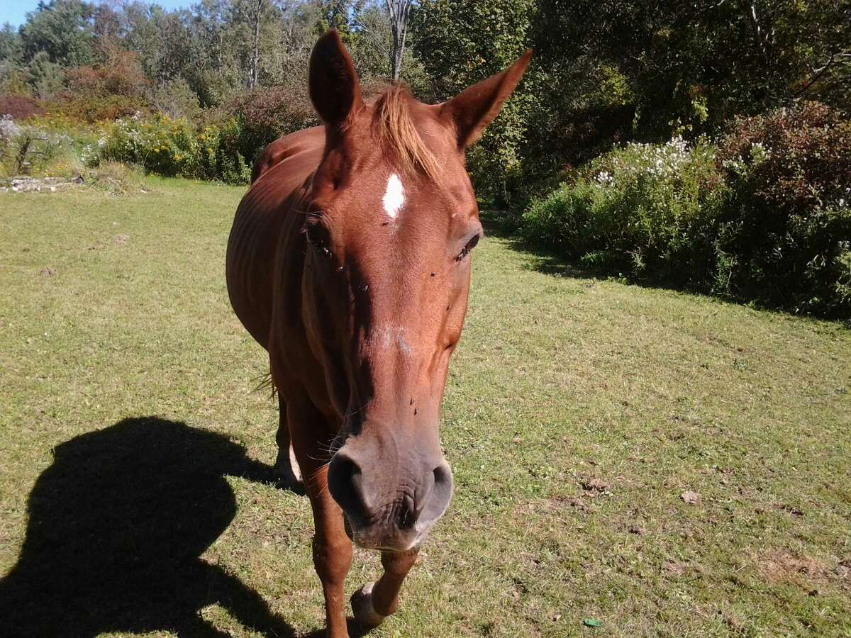 Belle, the Westerlo horse that was found shot dead by a bow and arrow May 18, 2014 (Photo provided by Sarah Burnett)
