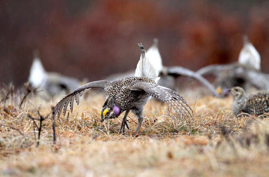 Male sharp-tailed grouse dance as a female, right, watch at Namekagon Barrens Wildlife Area on May 1, 2014. (Paul A. Smith/Milwaukee Journal Sentinel/MCT) Photo: Paul A. Smith, McClatchy-Tribune News Service