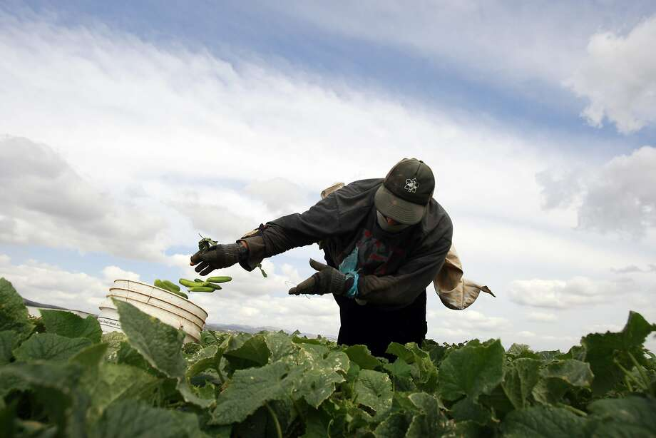 Pick a peck of pre-pickles:A Palestinian farm worker picks cucumbers in a field near the West Bank city of Jenin. Most of the cukes are   sold to Israeli factories where they are processed, pickled and sold in markets in Israel and the West Bank. Photo: Mohammed Ballas, Associated Press