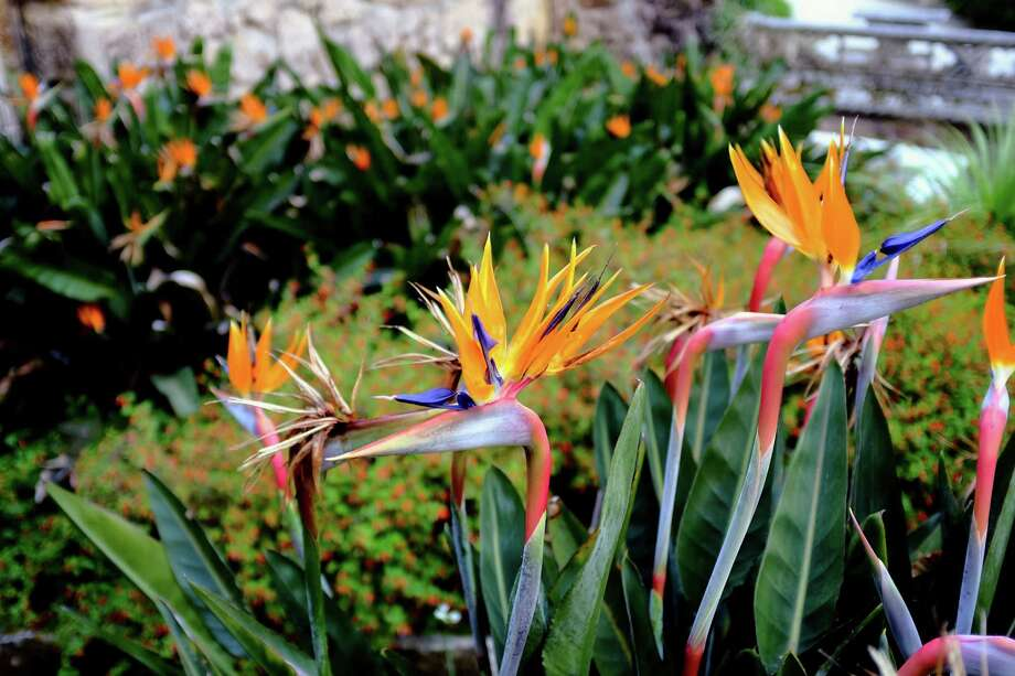 Birds of paradise, the Strelitzia reginae, bloom in May 2014, in Sintra, Portugal. Photo: JORDAN STEAD / JORDAN STEAD