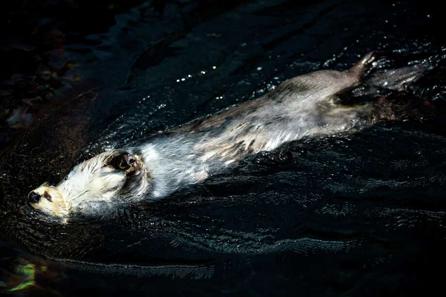 Sea otters splash about at the Lisbon Oceanarium, the third largest aquarium in the world, in May 2014, in Lisbon, Portugal. Photo: JORDAN STEAD / JORDAN STEAD