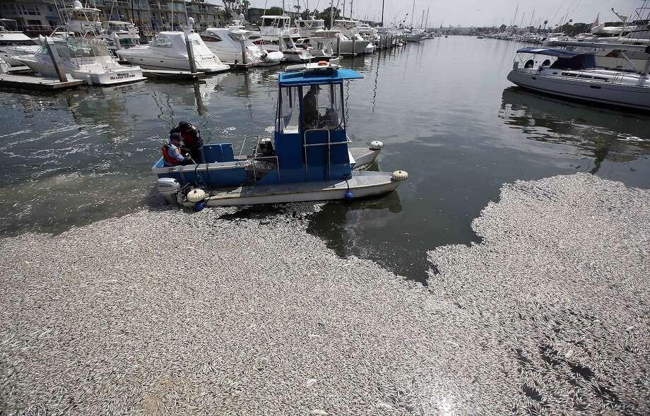 Crews remove dead fish in May at Marina Del Rey (Los Angeles County), similar to the die-off at Santa Cruz harbor. Photo: Nick Ut, Associated Press