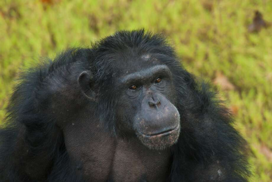 Mac, a 20-year-0ld male chimpanzee, lived at the Houston Zoo for the past four years. Photo: Houston Zoo / Houston Zoo