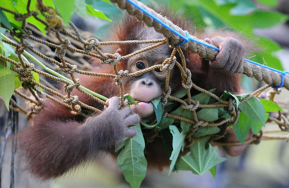 What? It's called flossing!At 10 months old, Rizki the orphaned Bornean orangutan at Indonesia's Surabaya Zoo is still learning to how to eat leaves. Sometimes the rope gets in the way. Photo: Robertus Pudyanto, Getty Images
