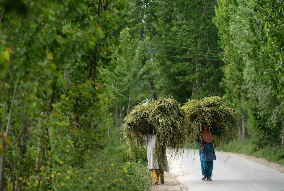 Gunfire or not, cows must eat:Kashmiri Muslim women carry fodder for cattle in the vicinity of a gun battle between Indian army troops and suspected armed rebels at Chadoora, Srinagar. A soldier was killed and three others injured in the shootout. Photo: Tauseef Mustafa, AFP/Getty Images