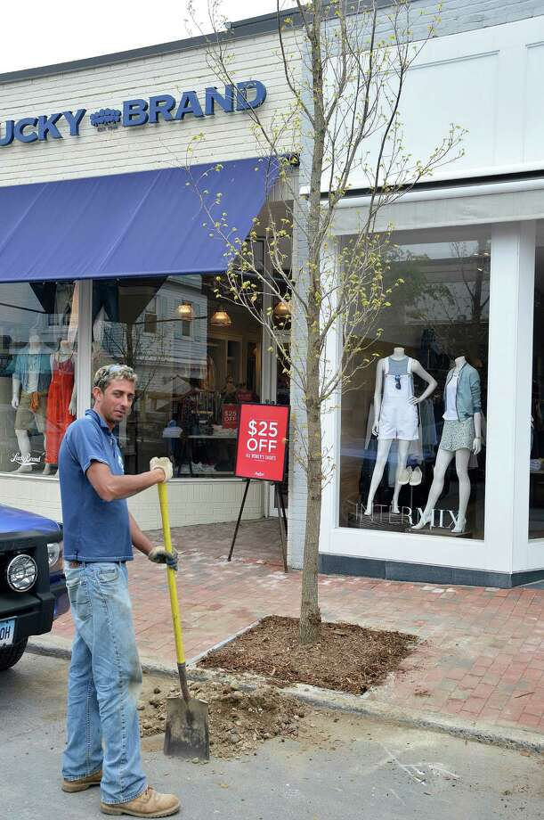Workers are planting new trees along Main Street, where in late 2012 removal of trees that once lined the street sparked controversy. Photo: Jarret Liotta / Westport News