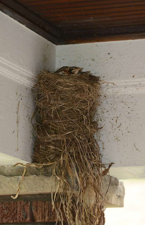 """High-rise robins:Two chicks sit in a towering robin nest on a porch in Erie, Pa. Homeowner Camille Hardner said the mother laid her eggs only after she and her mate built five nests stacked one on top of the other in two days. """"Maybe she was trying to get out of the wind,"""" Hardner says. Photo: Jack Hanrahan, Associated Press"""