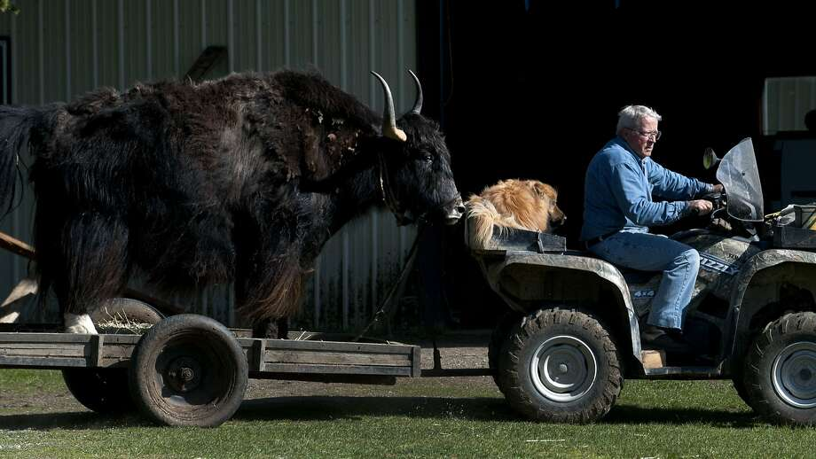 I need a snack, said Mak the yak: In Athol, Idaho, Lynn Taylor and Bud the dog haul a yak named Makloud. Photo: Kathy Plonka, Associated Press