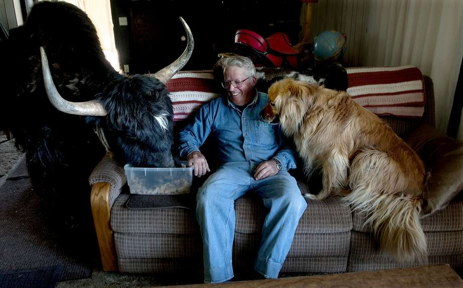I am no Angus cow, grazing I do not allow. Cookies I want, and I want them now! said Mak the yak of Idaho. How else can a yak watch HBO? Lynn Taylor, Bud the dog and Makloud the yak settle in for some couch potato-ing in Athol, Idaho. Photo: Kathy Plonka, Associated Press