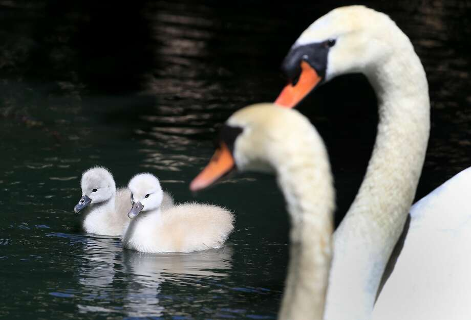 Swan chicks stick close to their parents outside the Palace of Fine Arts, where a volunteer caretaker looks after them. Photo: Brant Ward, The Chronicle