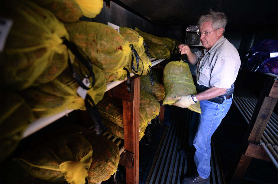 John Gaulding grabs bags of crawfish from the cooler at his crawfish farm on Friday. Gaulding said mudbugs will last several days by keeping keeping them on ice.  Photo taken Friday, May 16, 2014 Guiseppe Barranco/@spotnewsshooter Photo: Guiseppe Barranco, Photo Editor