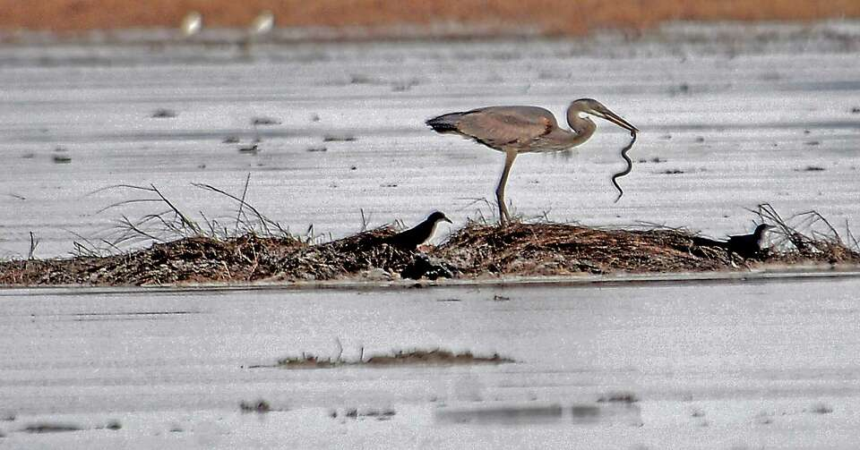 A heron eats a small snake in the Salt Bayou System section of the J.D. Murphree wetlands between Po