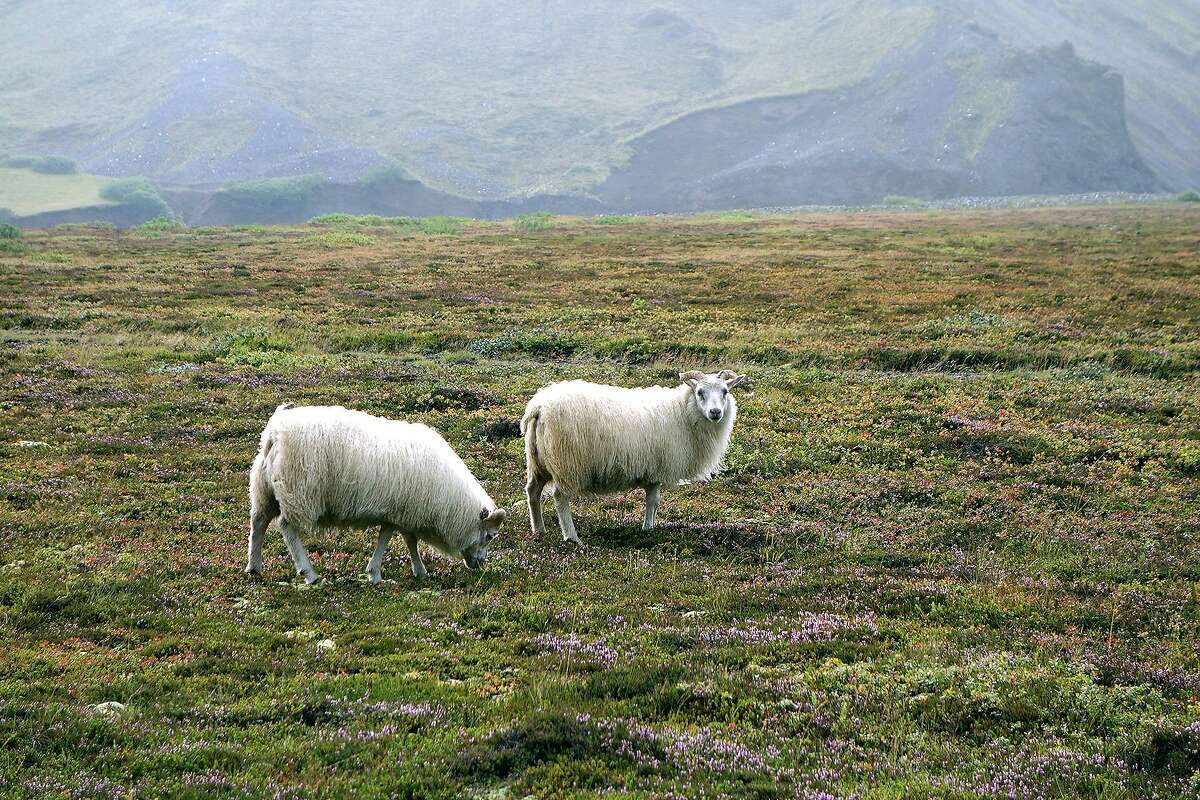 Most farming on Iceland is about raising animals, because grass is about all you can grow on the thin, poor soil.