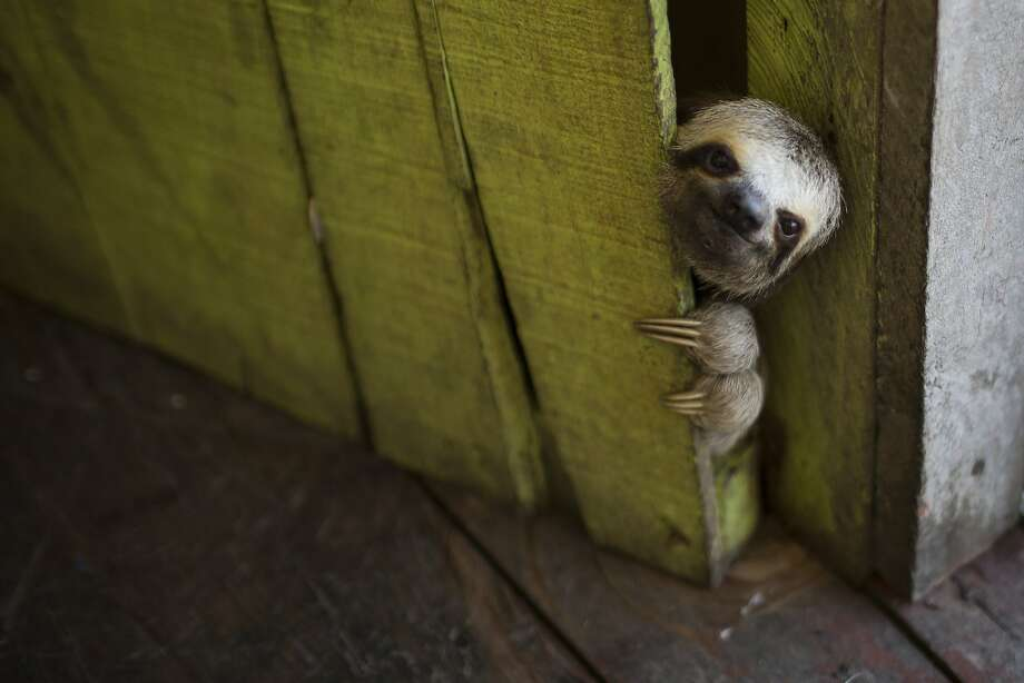 Please be patient ... I'll have it open in a jiff ... Just 10 more minutes ... Three-toed sloths make the worst doormen. (Floating house in the Lago do Janauari, a park of forest, floodplain and flooded trees in Manaus, Brazil) Photo: Felipe Dana, Associated Press