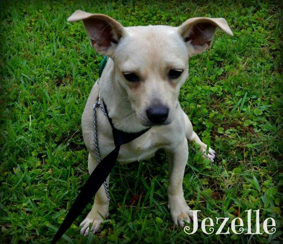 JezelleChihuahua MixAdult femaleSize: Small