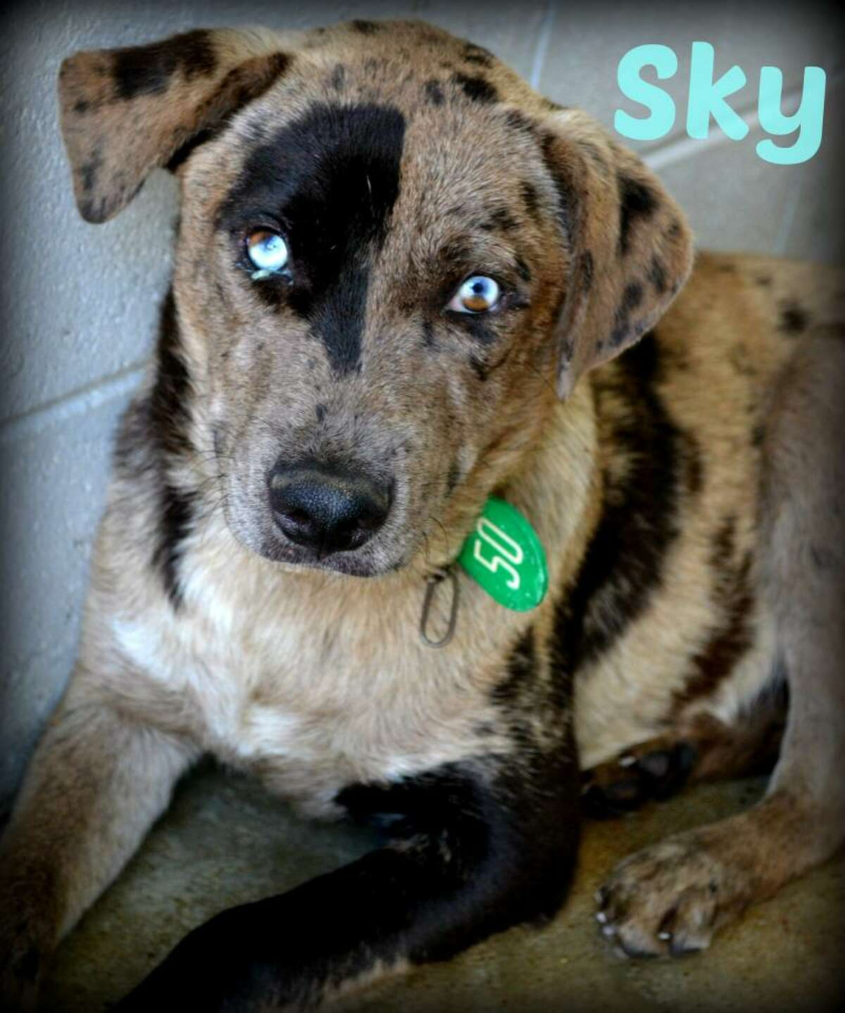 SkyCatahoula Leopard Mix and Black Mouth CurYoung maleSize: Large