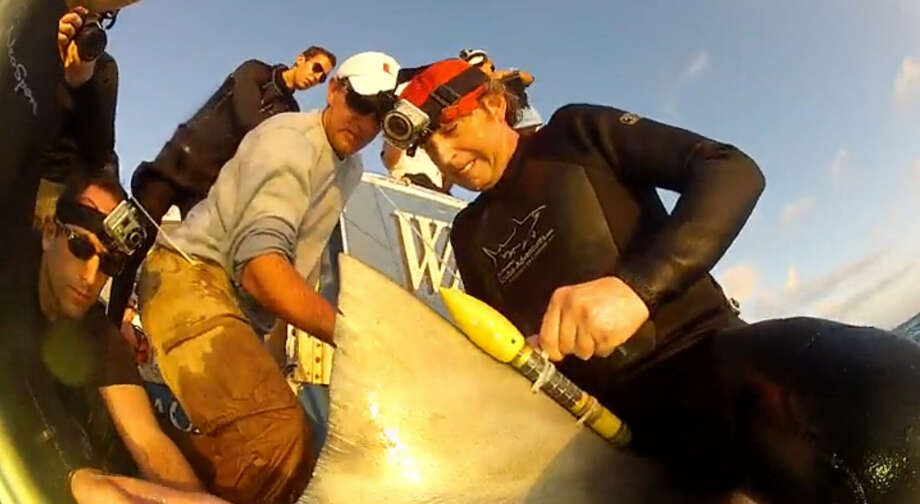 Researchers tag sharks, tarpon, tuna and billfish with torpedo shaped sensors which gather data and send it back to satellites. Photo: Rosenstiel School Of Marine And Atmospheric Science