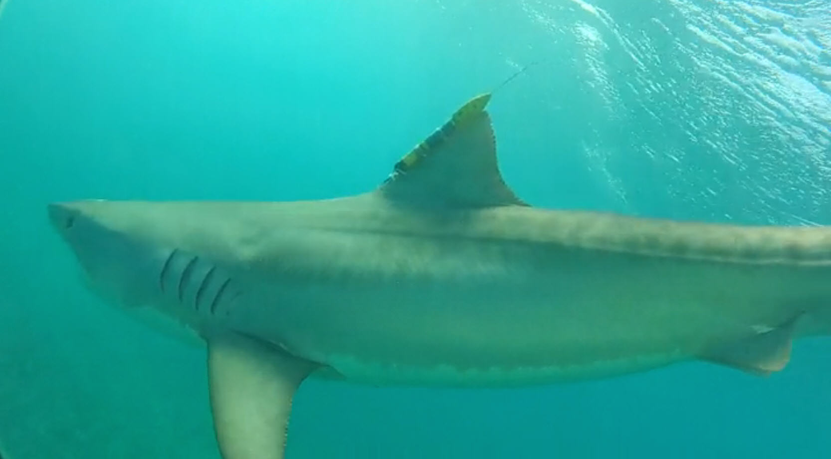 Scientists Tagging Sharks In Gulf To Predict Hurricane