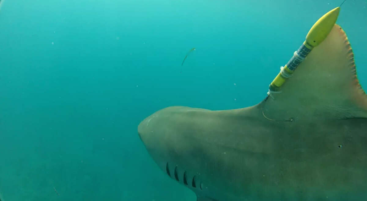 Researchers tag sharks, tarpon, tuna and billfish with torpedo shaped sensors which gather data and send it back to satellites.