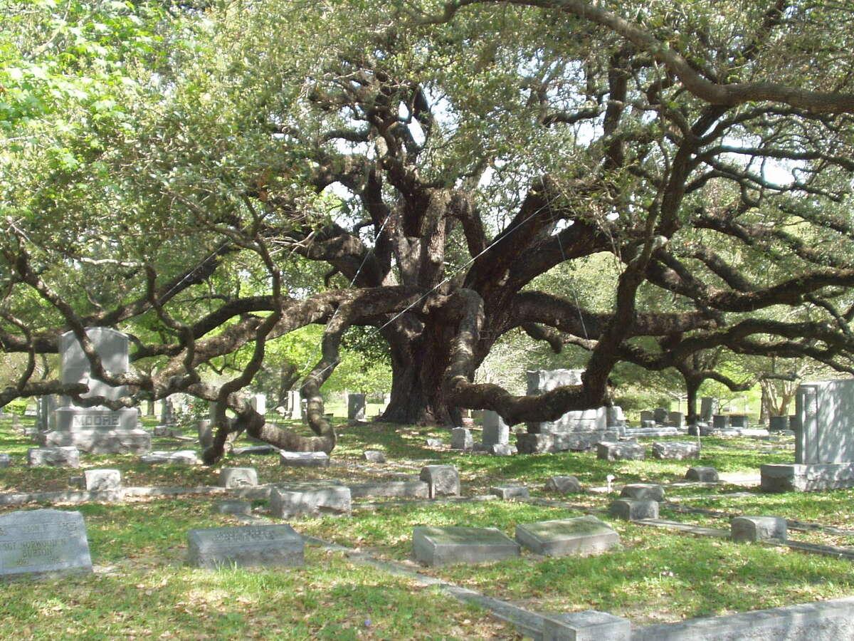 The cemetery live oak at Houston's Glenwood Cemetery.