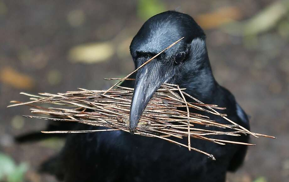 Grab some pine, rook: A crow appears to be planning a nest in a park in Tokyo. Photo: Shizuo Kambayashi, Associated Press