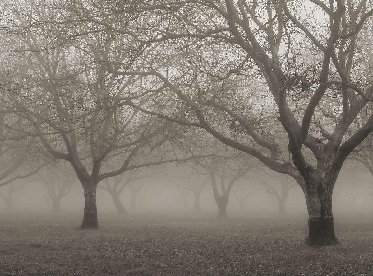 Tule fog drifts through a walnut orchard near Meridian, in the Sacramento Valley.
