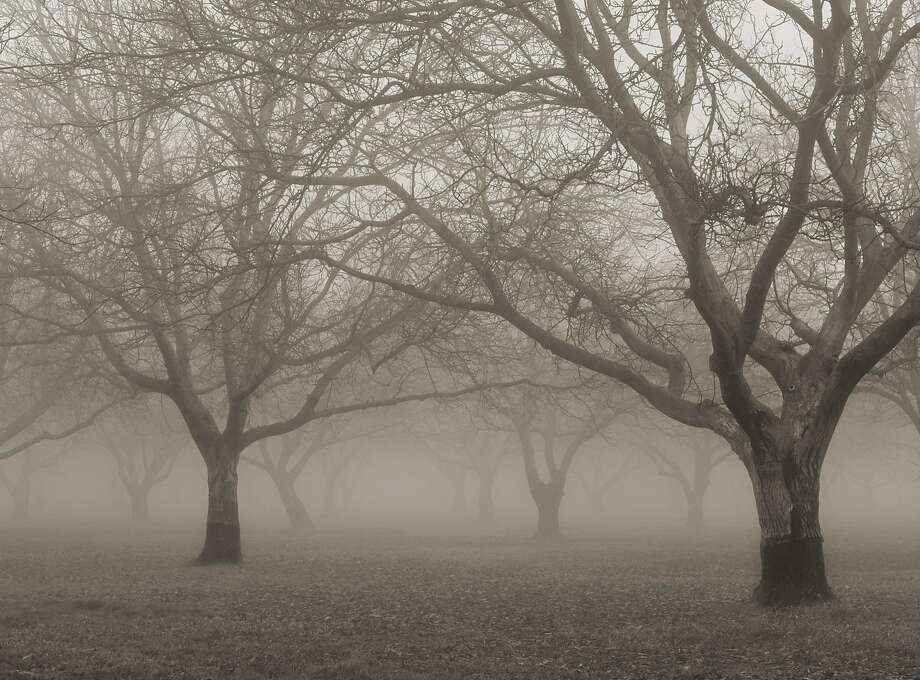 Tule fog - essential to some crops - drifts through a walnut orchard near Meridian (Kern County) in the Central Valley. Photo: Anthony Dunn