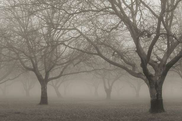 Tule fog drifts through a walnut orchard near Meridian, in the Sacramento Valley.