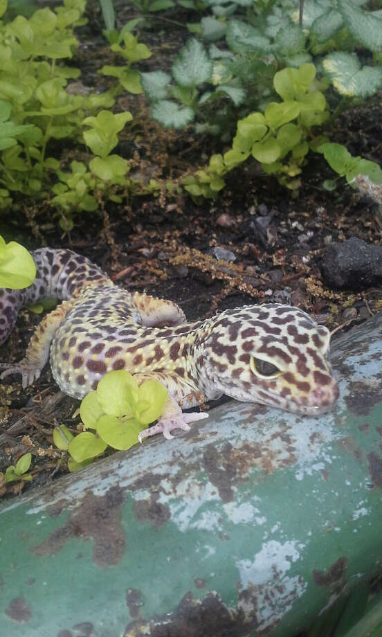 Pictured is the leopard gecko, one of the creatures kids will meet in Outdoor Adventures: Colors and Patterns in Nature, taking place at the Stamford Museum & Nature Center on Friday, May 30. Photo: Contributed Photo / Stamford Advocate