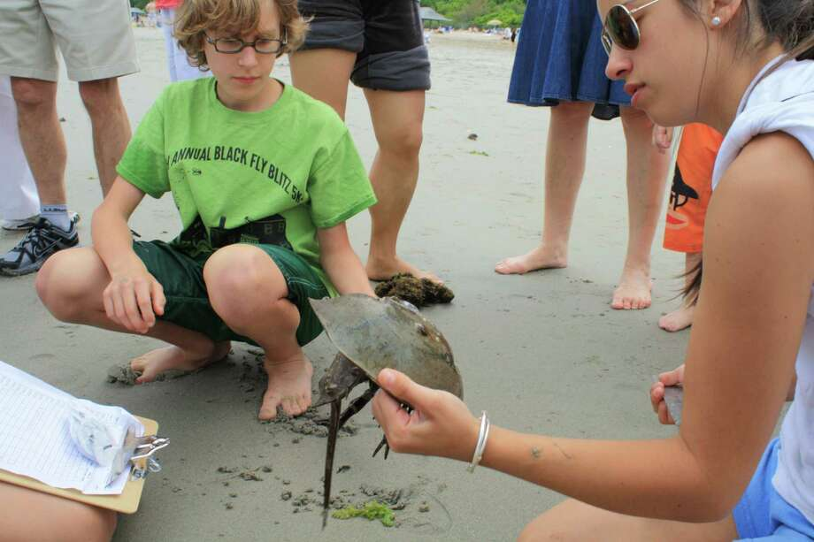 Horseshoe crabs will be featured during a First Sunday Science program slated for Sunday, June 1 at the Bruce Museum's Seaside Center in Greenwich. Participants will learn about Project Limulus and a horseshoe tagging program coordinated through Sacred Heart University. Find out more.  Photo: Contributed Photo / Stamford Advocate Contributed