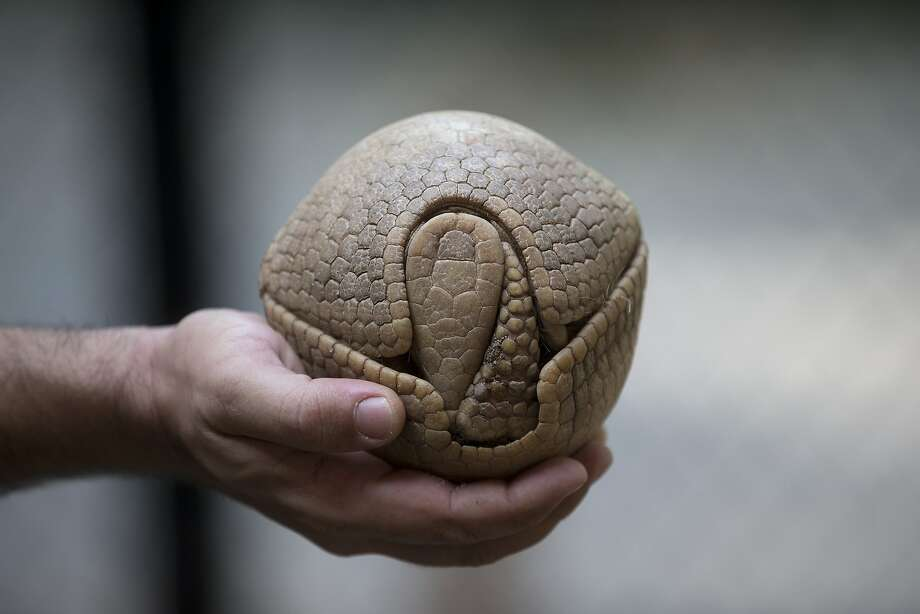Please don't let Fifty Cent throw me: The three-banded armadillo turns itself into a ball when frightened, which ironically makes it more likely to be drafted for a game of catch. Not that biologist Rodrigo Cerqueira of the Rio Zoo in Rio de Janeiro (that's his arm) would ever do such a thing. He's working to protect the endangered creature from extinction. Photo: Silvia Izquierdo, Associated Press